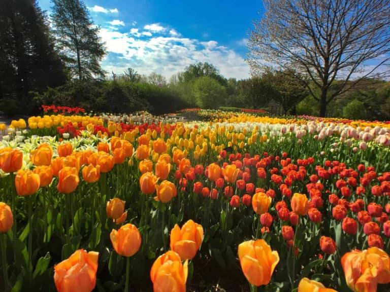 Tulip Fields Spring