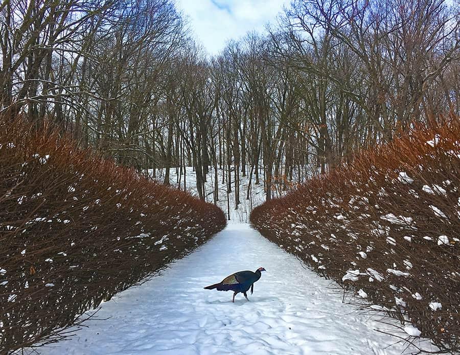 Wild Turkey in Winter